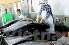 Sớm chứng nhận sản phẩm cá ngừ vằn đạt chuẩn