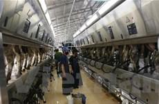 Công ty Mộc Châu đẩy mạnh sản xuất sữa sạch
