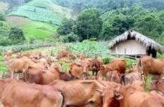 Việt kiều bỏ vốn lập trại nuôi bò lớn nhất Bến Tre