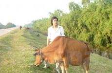 Tặng 1.400 con bò cho 14 huyện nghèo nhất nước