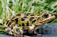 Phát hiện hai loài ếch mới tại biên giới Panama