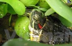 Phát hiện rùa tai đỏ trên các sông ở Hậu Giang