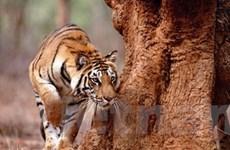 Việt Nam sẽ dự hội nghị toàn cầu về bảo tồn hổ