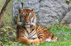 Ra mắt trang thông tin điện tử nhằm bảo vệ loài hổ