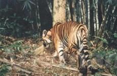 Hổ hoang dã tại Việt Nam còn chưa đến 50 cá thể