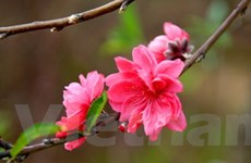 Những loài hoa đặc trưng cho ngày Tết cổ truyền