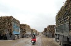 Ứ đọng hàng trăm xe mía tại nhà máy đường Gia Lai