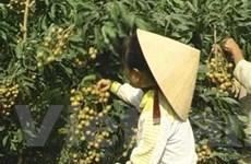 Giống nhãn Thái kháng dịch chổi rồng tại Sóc Trăng