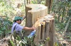 Hàng trăm cây cổ thụ ở rừng Quảng Nam bị đốn hạ