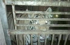Nghệ An chưa phát hiện việc nuôi nhốt hổ trái phép
