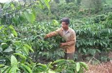 Tỉnh Đắk Nông đã trồng tái canh trên 140ha càphê