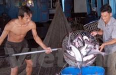 Kim ngạch xuất khẩu cá tra có thể đạt 1,3 tỉ USD