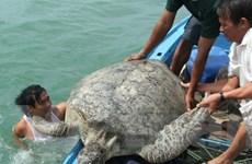Trả rùa biển quý hiếm nặng 120kg về đại dương
