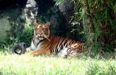 Ba trại nuôi hổ Bình Dương trình phương án gây nuôi