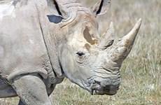 Bốn con tê giác trắng phương Bắc về châu Phi