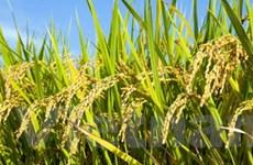 Nguồn cung lúa gạo và caosu giảm do khô hạn