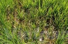 Hơn 20.000ha diện tích lúa bị bệnh lùn sọc đen