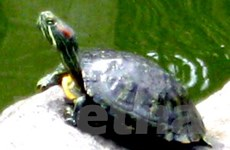 Caseamex vẫn chưa thực hiện tiêu hủy rùa tai đỏ