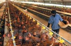 Sản phẩm chăn nuôi không tăng giá đột biến dịp Tết