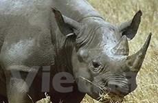 Mỹ bắt giữ bảy người buôn lậu sừng tê giác đen