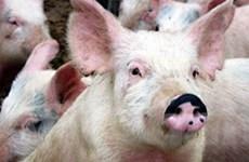 Dịch lợn tai xanh đang có nguy cơ lan ra diện rộng