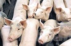 Cả nước đã có năm tỉnh bị dịch bệnh lợn tai xanh