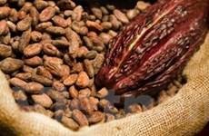 Tỉnh Bình Phước trồng cacao theo tiêu chuẩn quốc tế