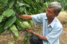 Thu 500 triệu đồng mỗi năm từ trồng xoài VietGAP