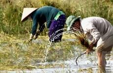 ĐBSCL thu hoạch 200.000ha lúa Thu Đông tránh lũ
