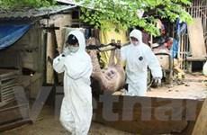 Dịch bệnh lợn tai xanh và cúm gia cầm bùng phát