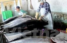 Nghề câu cá ngừ đại dương cho hiệu quả kinh tế cao