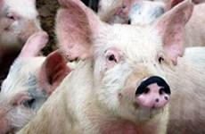 Công bố dịch tai xanh ở lợn tại hai huyện Nam Định