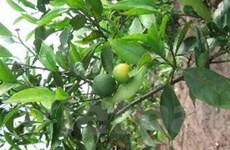 Phục tráng giống cam chanh đặc sản ở Ninh Giang