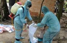 Dịch lợn tai xanh ở Quảng Nam vẫn bùng phát mạnh