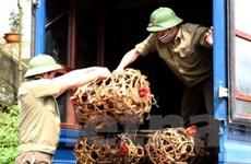 Tiêu hủy 600 vịt ngan giống nhập lậu vào Việt Nam