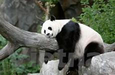 Gấu trúc khổng lồ Mei Xiang đã sinh gấu con thứ ba
