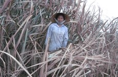 """Người dân vùng Lam Sơn ngán ngẩm mùa """"mía đắng"""""""