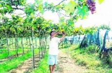 """""""Đại gia"""" trồng nho ở Bình Thuận"""