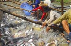 Cá tra Việt Nam - câu chuyện giành 99,9% thị phần