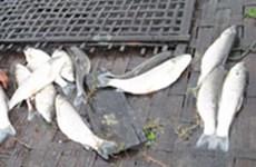 Cá nuôi chết hàng loạt trên diện rộng tại Hải Phòng
