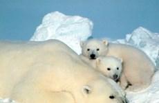 Gấu Bắc Cực sẽ không thể tồn tại quá 30 năm nữa