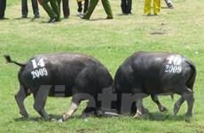 Phát hành một vạn vé trong lễ hội chọi trâu Đồ Sơn