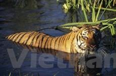 Hổ Ấn Độ có thể bị diệt vong bởi nạn săn bắn trộm