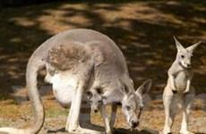 90% động vật có vú và bò sát chỉ có ở Australia