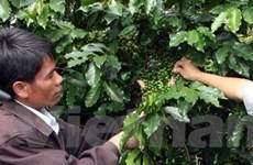 Sản lượng cà phê nhân tại Đắk Lắk giảm mạnh