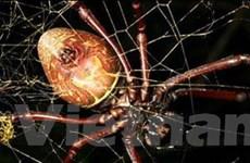 Phát hiện ra một loài nhện vàng lớn nhất thế giới