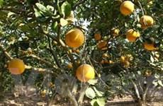 Hà Nội: Rộn ràng mùa thu hoạch trái cây đặc sản