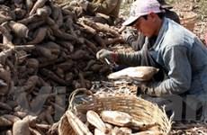 Lào Cai: Lượng sắn củ xuất khẩu tăng đột biến