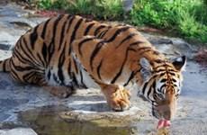 Số lượng hổ ở Tây Nguyên đang giảm đáng kể