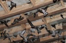 Nuôi chim yến - hướng làm giàu mới ở Bạc Liêu
